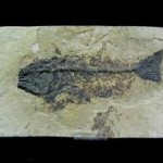Mioplosus (Perch-like)