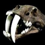 "Smilodon ""Sabre Tooth Cat"""
